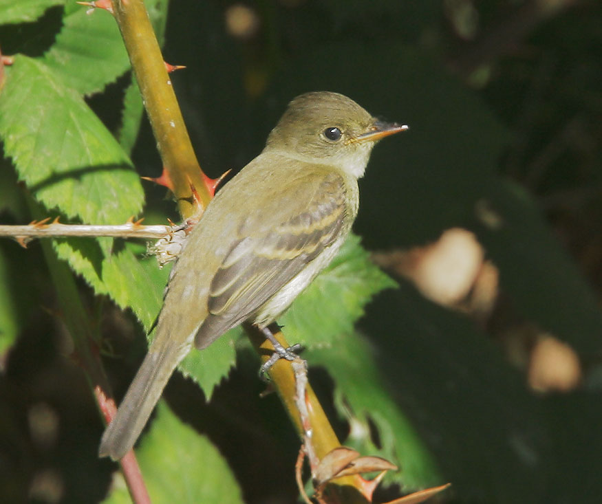 Willow Flycatcher - Tom Grey image-03