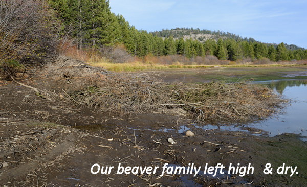 Exposed beaver lodge after draining of Van Norden Lake2 10-24-15