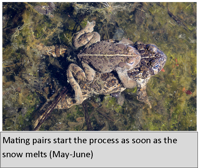 Western Toad mating pair
