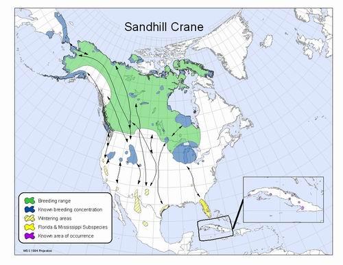 Sandhill Crane All