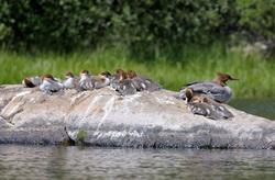 Merganser mother and ducklings in Van Norden lake-95 7-20-12_0021