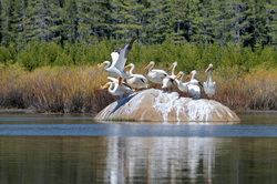 White Pelicans on rock in Van Norden Lake-28 5-18-12