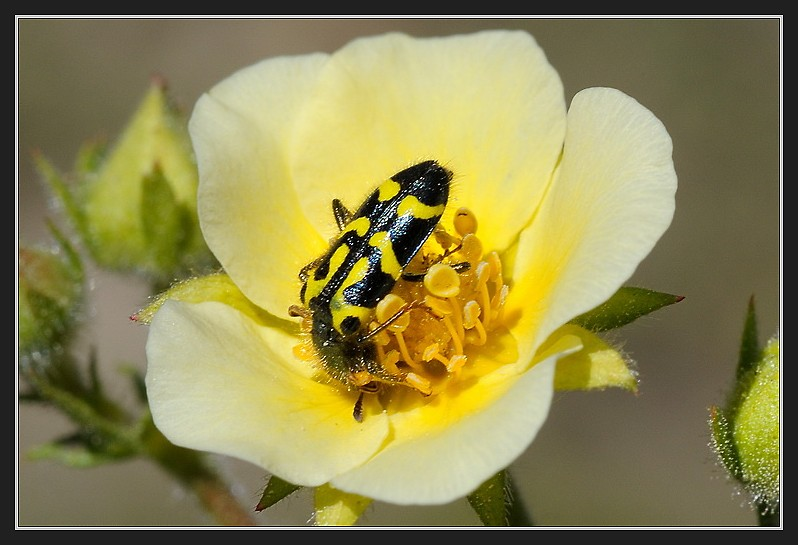 Yellow and black beetle on Cinquefoil flower in Van Norden Meadow-10 6-12-13