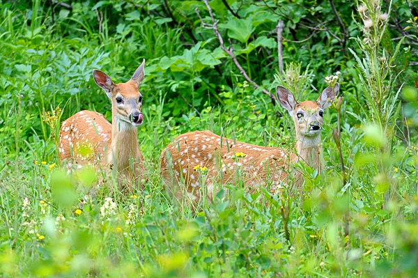 Beer fawns at Many Glaciers area of Glacier NP in MT-12 7-23-10