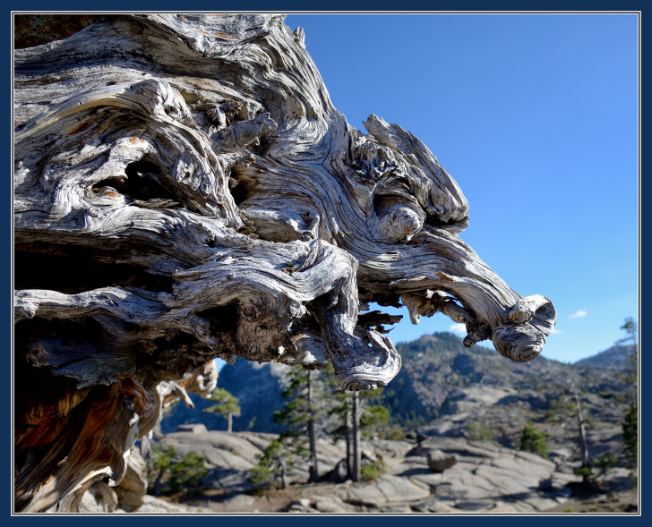 Dragons head in in tree roots at Catfish Pond at Donner Pass-05 9-26-15